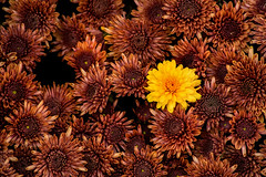 Out of Place 3-0 F LR 10-22-17 J207 (sunspotimages) Tags: flower flowers mums chrysanthemum chrysanthemums mum yellowflowers yellowflower yellow brown brownflower brownflowers nature