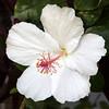 Flowers of Hawaii Hibiscus (PIERRE LECLERC PHOTO) Tags: flowers flower plant life beauty hawaii hawaiianislands maui nature tropical plumeria hibiscus frangipani pierreleclercphotography