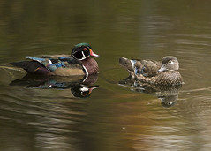 Wood Ducks Adoring Each Other (Thomas Muir) Tags: aixsponsa woodcounty ohio perrysburg waterfowl pond water fall migration nikon d800 600mm animal quarry tommuir outdoor nature midwest swim