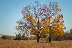 Fall Trees at the Farm (A Great Capture) Tags: autumn fall two trees country farm field tree golden agreatcapture agc wwwagreatcapturecom adjm ash2276 ashleylduffus ald mobilejay jamesmitchell toronto on ontario canada canadian photographer northamerica torontoexplore automne herbst 2017
