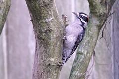 Always Alert (robinlamb1) Tags: outdoor nature animal bird woodpecker downy downywoodpecker picoidespubescens backyard fence roseofsharonbush bush aldergrover