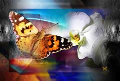 Wish (mfuata) Tags: wish arzu butterfly kelebek orchid orkide love aşk access erişim communication iletişim accord uyum color renk