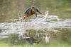 Kingfisher (Alcedo atthis) - The one that got away (2 of 2) 500_2144.jpg (Mobile Lynn) Tags: wild kingfisher birds nature aves bird chordata coraciiformes fauna wildlife otterbourne england unitedkingdom gb coth specanimal coth5 ngc sunrays5 npc