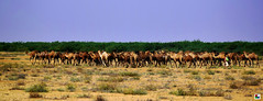 Rann of Kutch Desert- A Bunch of Camels (Aniruddha1978) Tags: camel bunch desert rann kutch touristspotinindia india sky animal field tree grass family