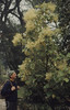 Brachyglottis repanda flowers. Tresco. Scilly (Mary Gillham Archive Project) Tags: 2275 brachyglottisrepanda england hedgeragwort island people planttree sv8914 scillyisles tresco unitedkingdom gb