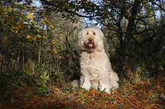 43/52 ... Golden girl (Chickpeasrule) Tags: evie goldendoodle autumn leaves golden beech trees 52weeks4dogs