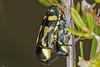 Jewel Beetles IMG_8857AA (Kool bee) Tags: greenlands beetles jewelbeetle mating