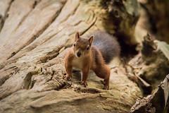 Red Squirrel (explored) (Anne Richardson) Tags: wildlife nature brownseaisland brownsea redsquirrel squirrel red mammal