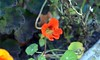 Nasturtium (4) (John Carson Essex UK) Tags: thegalaxy thegalaxystars rainbowofnature supersix