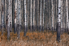 Aspen (Andrew G Robertson) Tags: forest aspen banff national park autumn fall alberta woods tree canmore