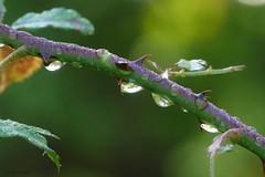 Morning dew (jehazet) Tags: dew dauw roos rose druppels drops