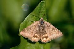 Moth (STE) Tags: falena moth macro tamron90