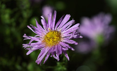 Sunshine After Rain (AnyMotion) Tags: aster asternovibelgii herbstaster blossom blüte petals blütenblätter wet nass sunny sonnig sunshine bokeh 2017 plants anymotion natur blumen floral flowers frankfurt colours colors farben purple violett 7d2 canoneos7dmarkii autumn fall herbst automne otoño ngc