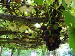 (*Petrine*) Tags: cotswolds england garten grosbritannien herbst kelmscottmanor lechlade oxfordshire trauben williammorris