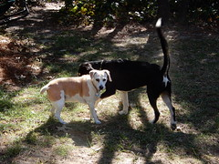 Rosie and Cooper (Just Back) Tags: dog dogs dogarama mutt love columbia sc hound fur tail tongue canine paws scent ears hounds spine vertebrae yard