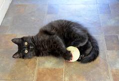 Happy Caturday! (Caulker) Tags: archive vaska kitten play ball july 2016