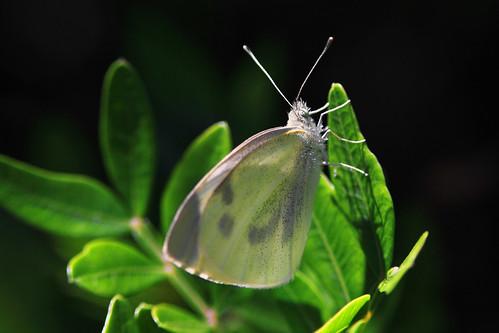 Butterfly of Crete.