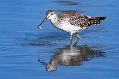 Greater Yellowlegs (Chatham Sound) Tags: britishcolumbia canada 124 nikond5 tamron150600mmf5663divcusd georgecreifelmigratorybirdsantcuary