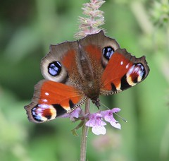 Butterfly (staceygallagher2) Tags: ireland photography insect flower flowers plants green summer nature butterfly