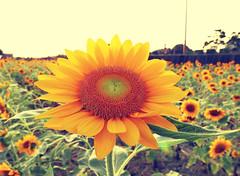 彰化花卉 Changhua Flowers - 5 (葉 正道 Ben(busy)) Tags: sunflowers changhuaˍcounty taiwan flowers yellow 向日葵 台灣 彰化 黃色 花 日本向日葵 japansunflower 綠色 green
