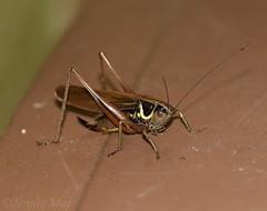 Rosels bush cricket. Explore. (jenniemay2011) Tags: nikond5300 insects roselsbushcricket summer brown jenniemay