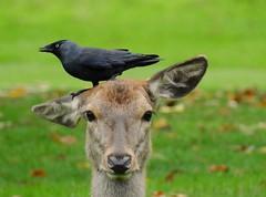 Red deer and jackdaw (PhotoLoonie) Tags: deer reddeer autumn wildlife nature bird nikon wollatonpark jackdaw animal wildbird mammal