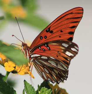 Gulf fritillary or passion butterfly (Agraulis vanillae