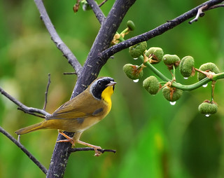 Common Yellowthroat at Green Cay