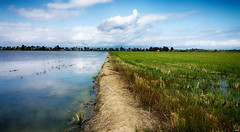 Campos de Arroz (candi...) Tags: deltadelebro camposdearroz arrozal arroz plantación cielo nubes siembra agua samsungs6 fotosmóvil airelibre naturaleza nature reflejos