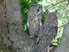 Long Eared Owls (art4arthritis) Tags: long eared owl hendrix ezra lus feathers fur falconry centre