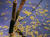 Evening Yellow Fall (Jimweaver) Tags: branch moss taiwan taipei lake water trunk tree blue purple shadow reflect mirror flower pond leaf 花 樹 葉 倒影 反射 樹幹 樹枝 苔蘚 台灣 台北 金龍湖 翠湖 evening 傍晚 asia