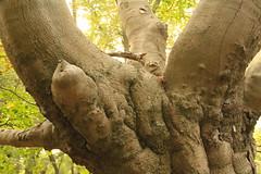 epp20 (Tony Wyatt Photography) Tags: eppingforest epping forest london woods trees beech mushrooms flyagaric alienmushroom puffball corporationoflondon autumn roots treeroots austin austinofengland austincar oldfolks