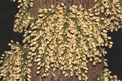 Dysoxylum parasiticum (andreas lambrianides) Tags: dysoxylumparasiticum meliaceae meliaparasitica epicharisschiffner yellowmahogany australianflora australiannativeplants australianrainforests australianrainforestplants australianrainforestflowers qrfp cyrfp arfp arfflowers tropicalarf whitearfflowers