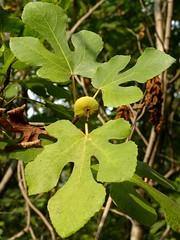 Ficus carica, EDIBLE FIG. (openspacer) Tags: ficus fig fruit jasperridgebiologicalpreserve jrbp moraceae nonnative tree