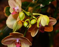 orange orchid (Uncle Tee TX) Tags: flash rogue flashbender kamerar sony a7ii fe9028 macrog