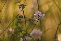 (SimonaPolp) Tags: flowers summer june bokeh field wild nature macro grass pink green light sunlight