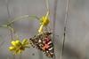 2017_10_03_Schmetterling_5_F_60_IGP8370 (Manfred T.) Tags: schmetterling insekt insekten makro macro distelfalter
