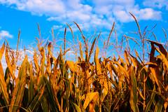 (tamaraschwenk) Tags: orange colourful field autumn