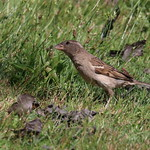 Sparrow in the Grass thumbnail