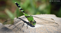 Green Dragonfly (Sage Girl Photography) Tags: dragonfly green sagegirl insect nikond3300 pse zoom backyard nature wings