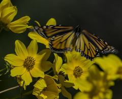 MonarchButterfly_SAF4425 (sara97) Tags: danausplexippus butterfly endangered insect missouri monarch monarchbutterfly nature outdoors photobysaraannefinke pollinator saintlouis towergrovepark copyright©2017saraannefinke