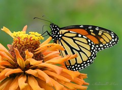 Monarch (NaturewithMar) Tags: monarch butterfly macro flower zinnia orange autumn 7dwf wednesday closeup