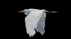 Just flying past... (chandra.nitin) Tags: animal bif bird cattleegret egret flying nature yamunakhadar delhi india sundaylights