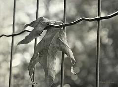 * (MargoLuc) Tags: leaf fall feeling trapped fence bokeh sunlight autumn backlight monochrome season bw outdoor