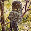 Forest Winter Show Owl  Decoration Art  日本の保護鳥北海道地域に生息する、エゾ梟の保護ボランティア団体の行動が、少しづつ増えてきているとお聞きしております、世界には絶滅動物達は、こんな保護団体のお陰だと思います、野生動物達をこれからも編集加工してアップして行きます。 (nodasanta) Tags: instagramapp square squareformat iphoneography uploaded:by=instagram mayfair