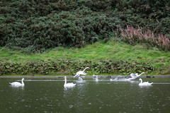St Margarets Loch September 2017-94 (Philip Gillespie) Tags: focus panning tracking birds motion swans ducks geese pigeons seagulls gulls water park nature outdoors wildlife canon eos 5dsr outside hill grass green blue white black mono monochrome colour wings feathers people kids men women girls boys bench feeding food contrast beaks bills rain spread flying swimming wet drops sky clouds eyes splash drip sitting ruin