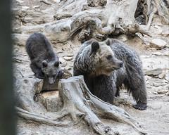 IMG_6369 (Branko.Hlad) Tags: medvedka bears gozd narava živali animals