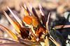 Scelophysa militaris (Scarabaeidae: Melolonthinae/Rutelinae: Hopliini) mating on Gazania leiopoda (Asteraceae) (yakovlev.alexey) Tags: asteraceae scarabaeidae rutelinae hopliini namaqualand namaquanp southafrica melolonthinae