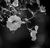 Minature Petunias  - HMBT (randyherring) Tags: ca california petunia sanjose afternoon bloom bloomingflower closeup flora flowers green monochrome outdoor patio plant purple white