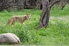 cyoto-in-Catalina-Campgr-(6 (DMREAnne) Tags: arizona tucsonarizona coyotes coyote mammal animal animals catalinastatepark catalina arizonastateparks mammals nature wildlife